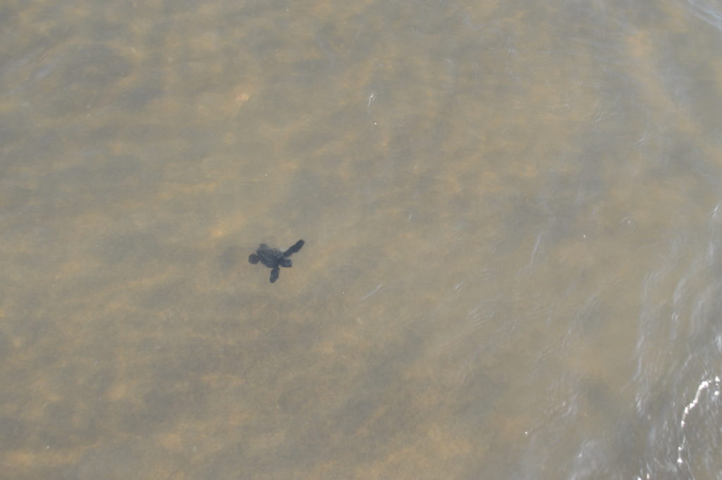 Released baby turtle