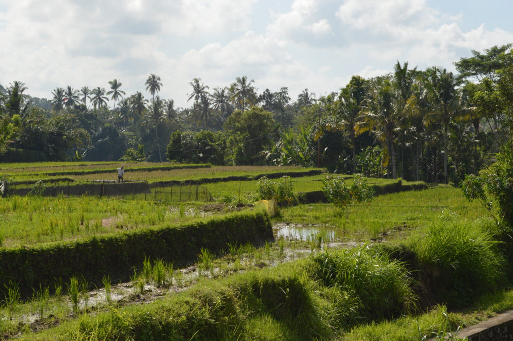 View of the padi rice fields on the campuhan ridge walk