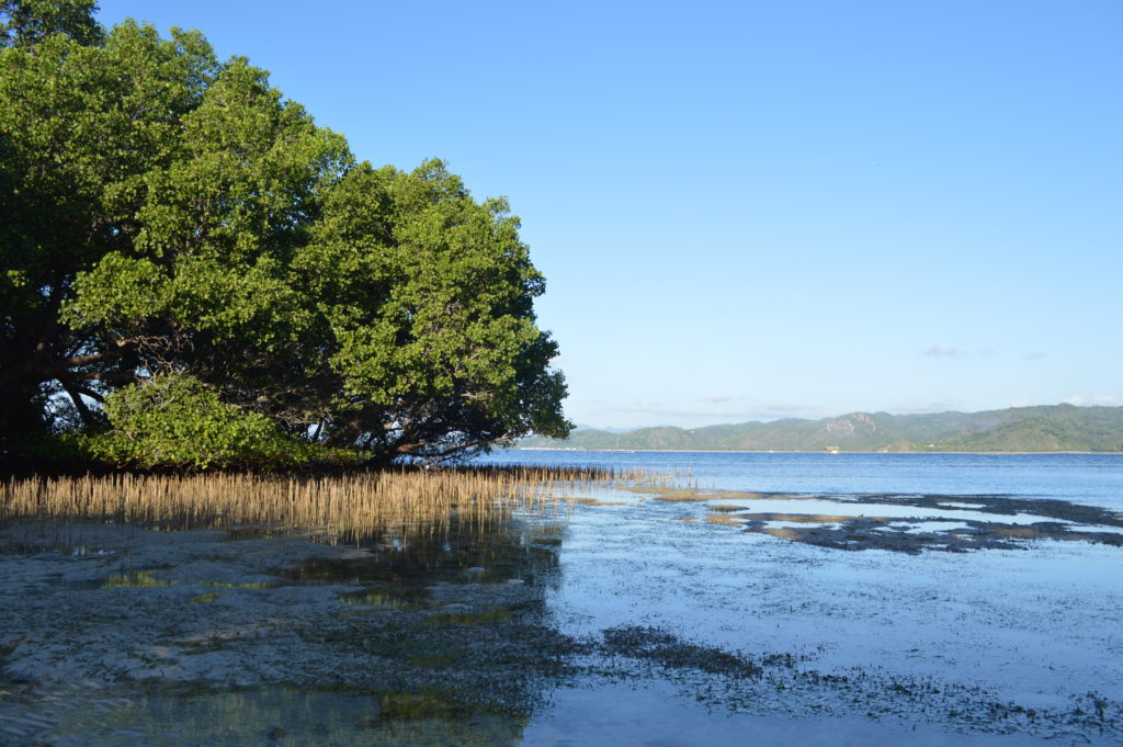 Low tide - mangrove tree roots that protect the baby black tip reef sharks!