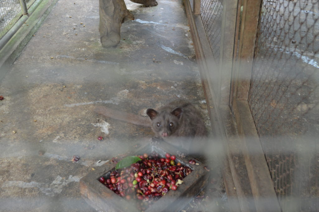 Luwak with his coffee cherries!