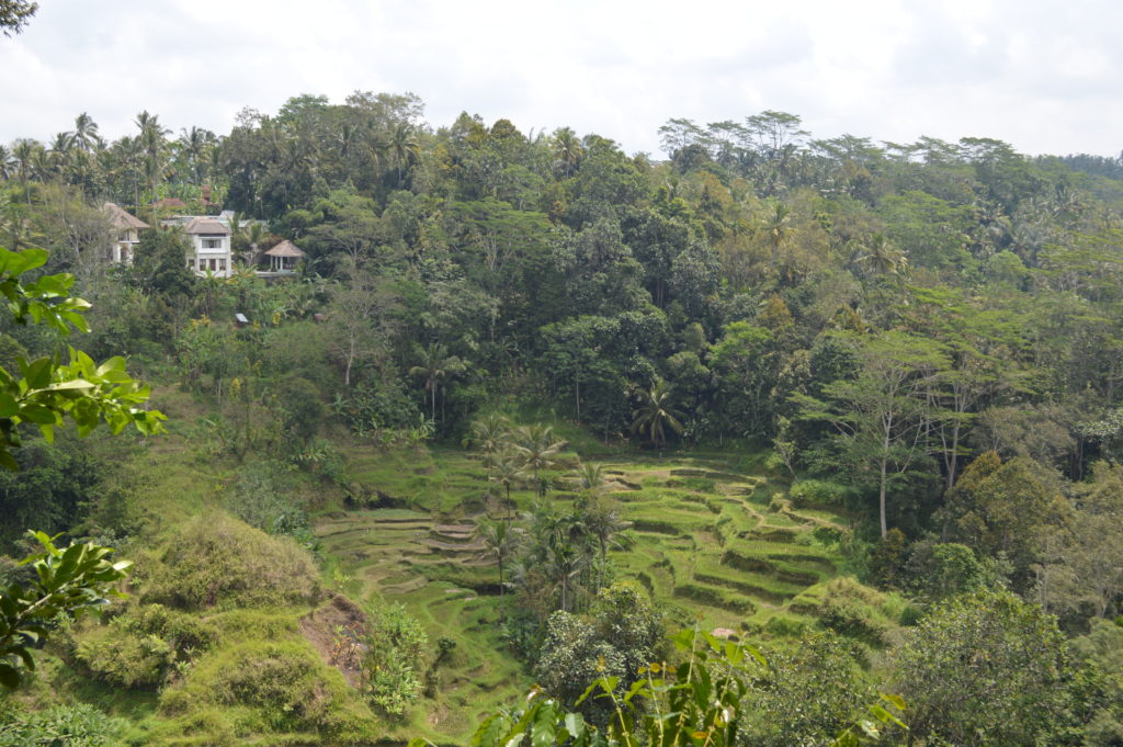 View of the rice fields at the coffee plantation